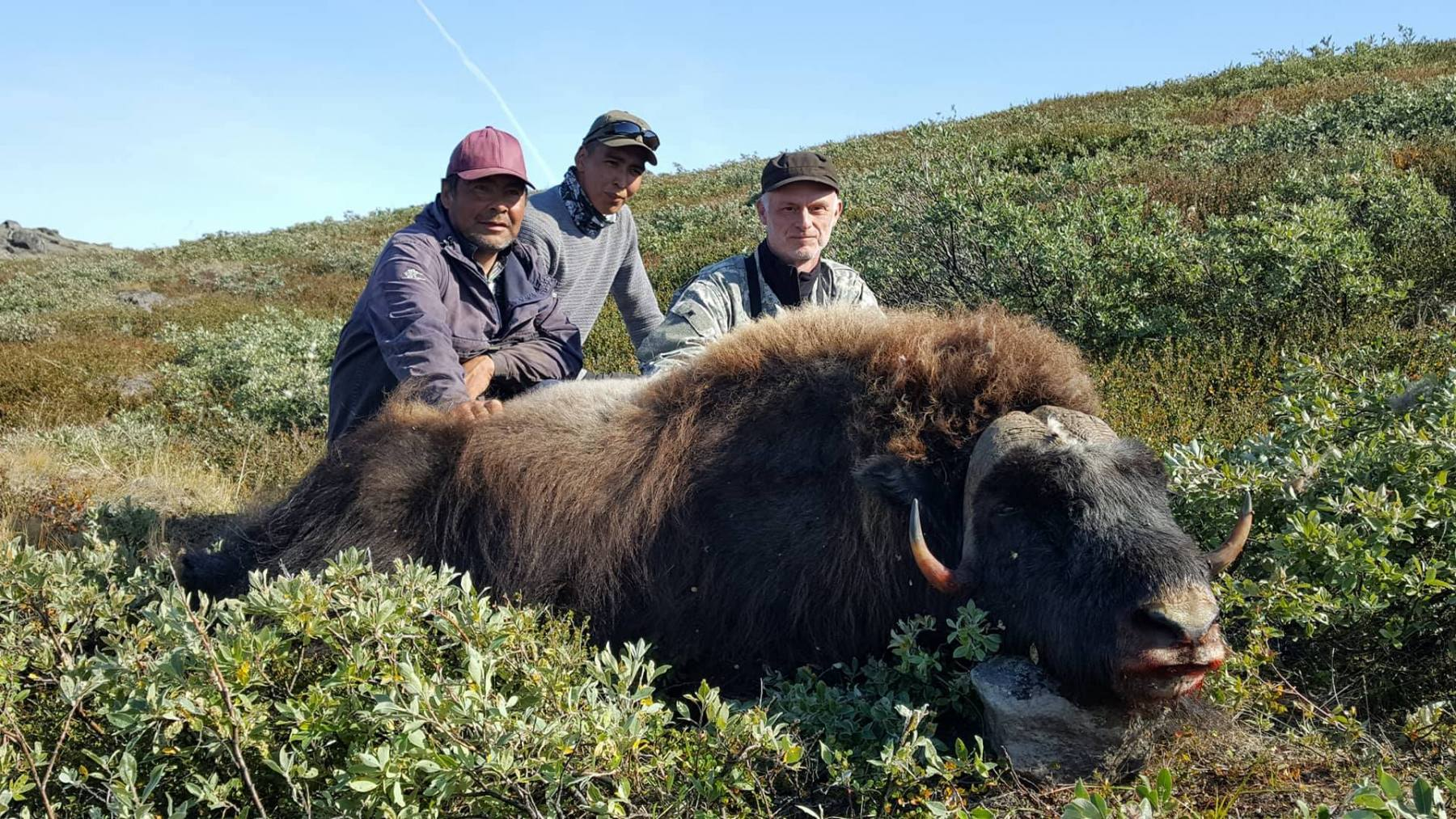 musk-ox-don